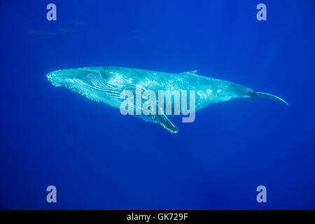 yearling humpback whale, Megaptera novaeangliae, with bottlenose dolphins, Tursiops truncatus, swimming in the background, - Stock Photo