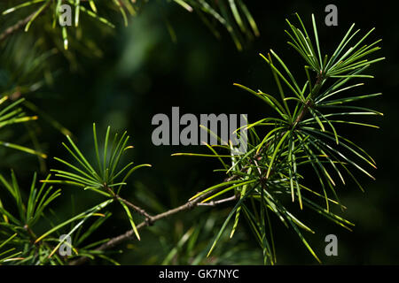 Japanese umbrella pine (Sciadopitys verticillata), also known as the koyamaki. Conifer plant. - Stock Photo