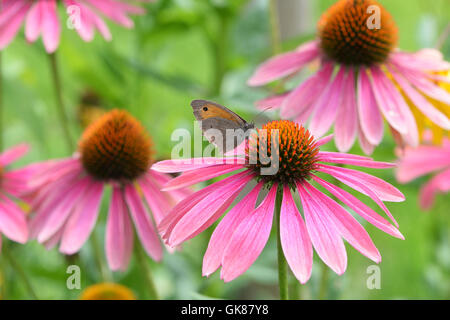 Berlin, Germany. 23rd July, 2016. A bumblebee sits on flowering a red or purple coneflower (Echinacea purpurea) - Stock Photo