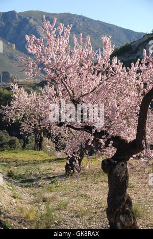 almond blossom in spain - Stock Photo