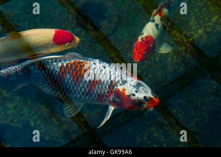 Ornamental fish (Koi Carp) in a garden pond with the bottom drain to the filters in view 6.6 feet below the surface - Stock Photo