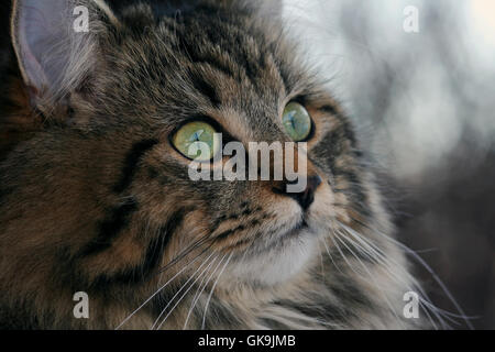 pretty young norwegian forest cat - Stock Photo