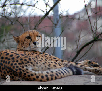 cheetah in the city - Stock Photo