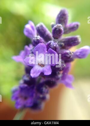 close up of one stem of lavender flowers - Stock Photo