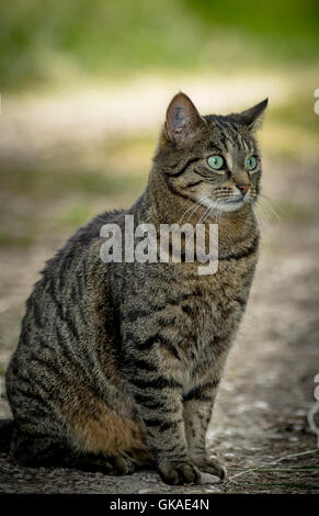 gray cat with big eyes sitting on the ground - Stock Photo