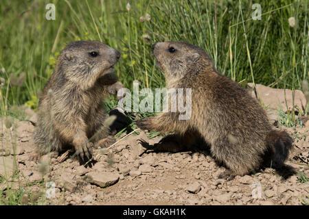 young Alpine Marmots (Marmota marmota) play-fighting outside their burrow entrance - Stock Photo