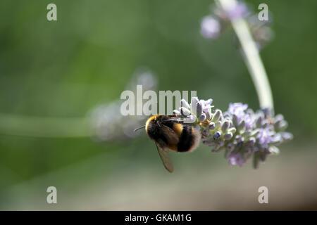 Bee on lavender - Stock Photo