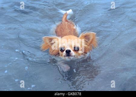 dog puppy swimming - Stock Photo