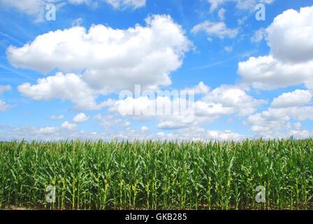 organic corn farming - Stock Photo