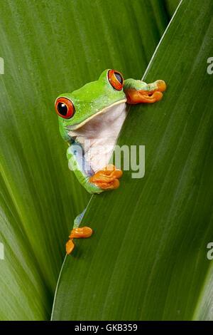greenback tree frog leaf - Stock Photo