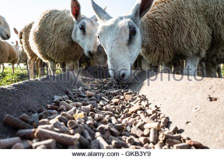 Swinside, Oxnam, Jedburgh, Scottish Borders, UK. 18th August 2016. Cheviot mule lambs on a farm in the Scottish - Stock Photo