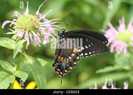 Spicebush swallowtail butterfly on wild bergamot - Stock Photo