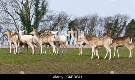 A herd of fallow deer hinds standing together at the South West Deer Rescue Centre near Crewkerne in Somerset - Stock Photo