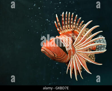 Wooden lionfish in a pool in Virginia Beach, Virginia - Stock Photo