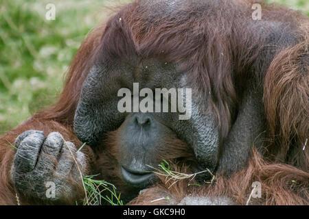Male Orangutan. - Stock Photo