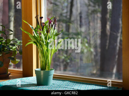 Calla Lily, Zantedeschia sp., on a windowsill. Phototropism sequence with image GKCR7F - Stock Photo