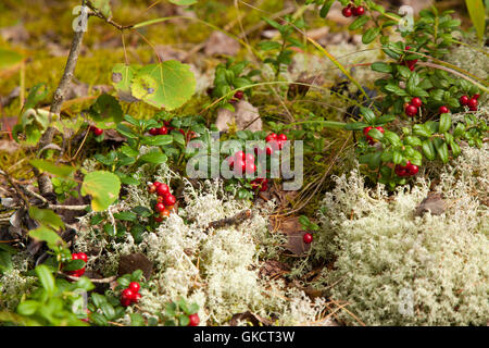 lingonberry ripening in the moss natural foraging background - Stock Photo