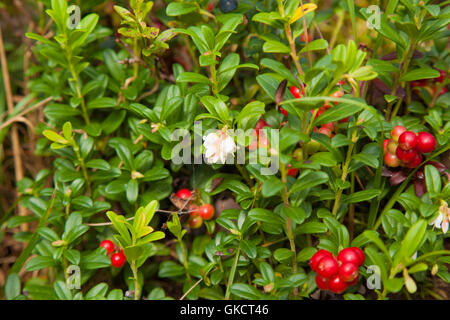 lingonberry ripening in the moss natural foraging background, some branches still flowering - Stock Photo