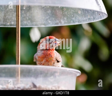 A male House Finch, Carpodacus mexicanus, eating safflower seed from a feeder. Oklahoma, USA. - Stock Photo