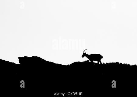 Iberian ibex ( Capra pyrenaica ) female in Silhouette, black & white m Spain - Stock Photo