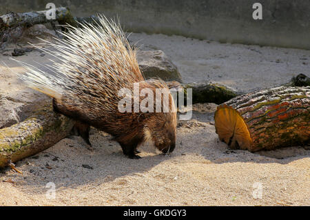 African crested porcupine Hystrix cristata displaying spines in the zoo - Stock Photo