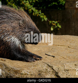 African crested porcupine Hystrix cristata displaying spines, resting on the rock - Stock Photo