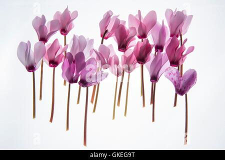 backlit violet petals (Cyclamen) on a lightbox - Stock Photo