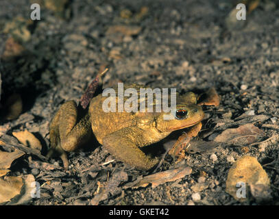Common toad or European toad, Bufo bufo. Portugal - Stock Photo