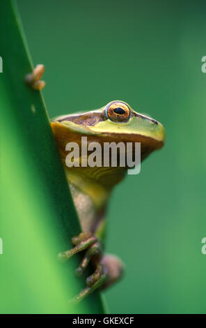 Mediterranean tree frog or stripeless tree frog, Hyla meridionalis. Portugal - Stock Photo