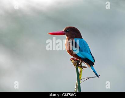 The image of White throated Kingfisher ( Halcyon smyrnensis) Keoladev national park, Bharatpur, India - Stock Photo