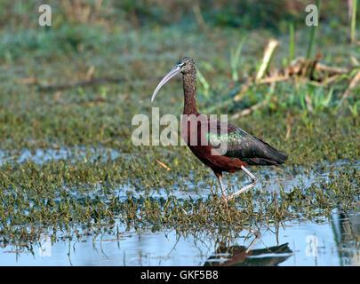 The image of Glossy Ibis ( Plegadis falcinellus) in Keoladev national park, Bharatpur, India - Stock Photo