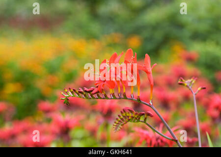 Crocosmia 'Lucifer' flowers in an herbaceous border. - Stock Photo