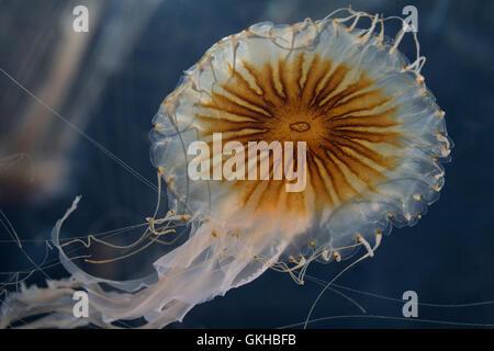 Kompassqualle, Kompass-Qualle, Kompaßqualle, Kompaß-Qualle, Qualle, Quallen, Chrysaora hysoscella, compass jellyfish, Compass-Je
