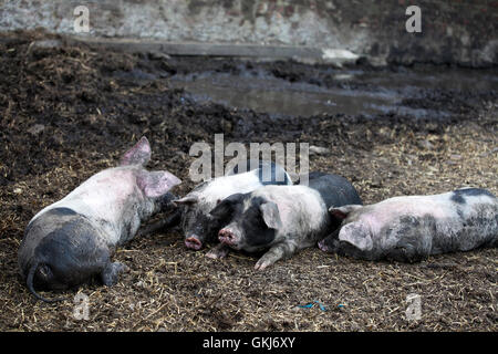 young black pigs at farm - Stock Photo