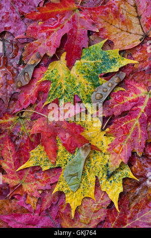 Silver and Sugar Maple Leaves on florest floor ( Acer saccharinum, A. saccharum ) Autumn, Michigan USA - Stock Photo