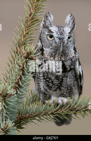 Eastern Gray Screech Owl Otus asio, gray phase, sitting on Spruce tree, Eastern North America. - Stock Photo