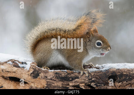 Eastern Red Squirrel searching for food (Tamiasciurus or Sciurus hudsonicus), Winter, E North America - Stock Photo