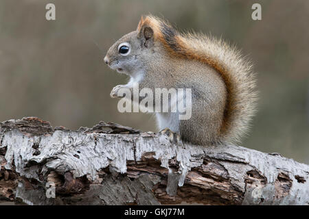 Eastern Red Squirrel searching for food (Tamiasciurus or Sciurus hudsonicus), sitting on White Birch tree, Winter, - Stock Photo