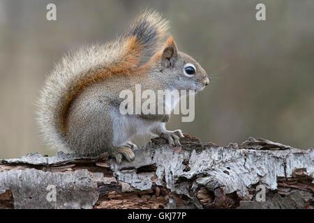 Eastern Red Squirrel searching for food (Tamiasciurus or Sciurus hudsonicus), sitting on White Birch tree, Winter, - Stock Photo