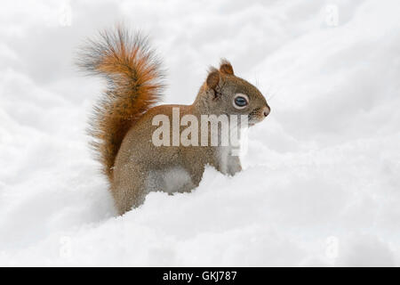 Red Squirrel (Tamiasciurus or Sciurus hudsonicus) looking for food in fresh snow, Eastern USA - Stock Photo