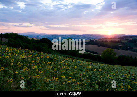 Summer landscape: beauty sunset over sunflowers field - Stock Photo