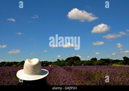 Picture taken at the lavender fields in Banstead, South Engalnd - Stock Photo
