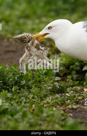 A Lesser Black Backed Gull predating an Arctic Tern Chick, Farne Islands, Northumberland, UK - Stock Photo