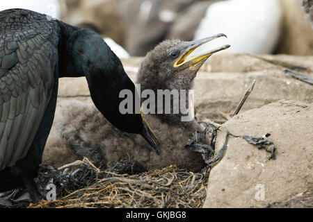 European Shag (Phalacrocorax aristotelis) adult preening young bird in the nest, Farne Islands, Northumberland, - Stock Photo