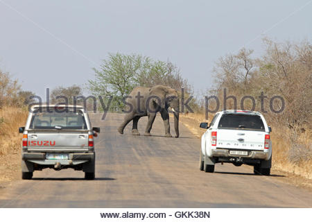 an elephant crosses the road, Kruger National Park, South Africa, African wildlife, the big five, elephants, African - Stock Photo