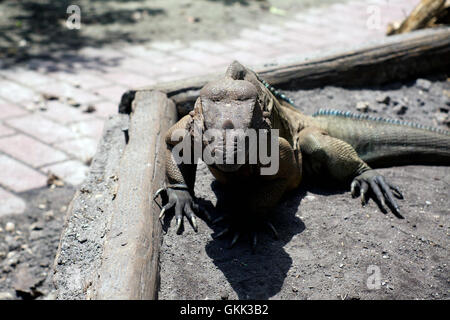A large horned Iguana lizard in ft. myers, southwest florida facing viewer in bright sunshine. - Stock Photo