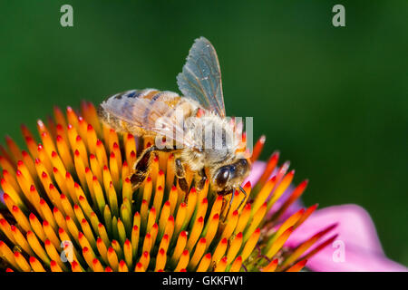 Bee pollinating a flower - Stock Photo