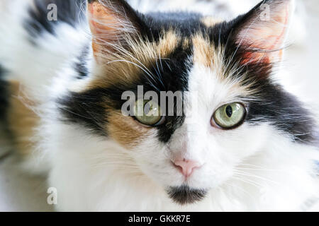 Beautiful House Cat - Stock Photo