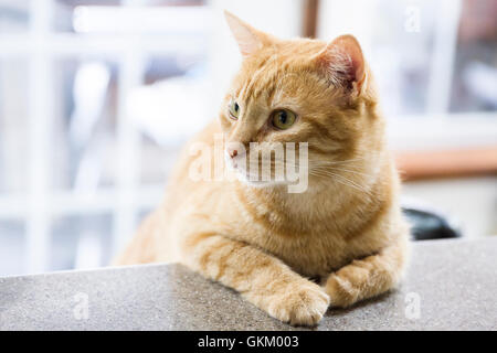 Tabby cat leaning on the counter - Stock Photo
