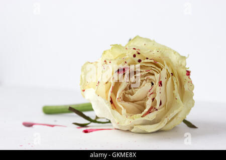 white rose with blood on white background (not isolated) - Stock Photo